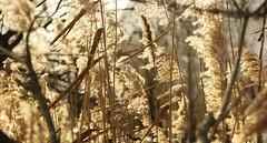 Les passagers du vent (nathaliedunaigre) Tags: reeds roseaux nature winter hiver light lumière texture plantes plants sunny ensoleillé