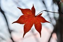 RED #3 (Sign-Z) Tags: 28300mmf3556gvr nikon d600 afsnikkor28300mmf3556gedvr red leaf 赤 葉