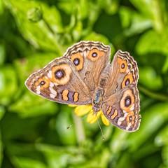 Meadow Argus (gecko47) Tags: insect butterfly lepidoptera nymphalinae meadowargus junoniavillida singaporedaisy minnippi wetlands macro ragged
