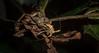 Meton digglesii (dustaway) Tags: arthropoda insecta coleoptera cerambycidae genus longicornbeetle australianbeetles australianinsects rainforest rotarypark lismore northernrivers nsw nature australia camouflage crypsis lamiinae metondigglesii