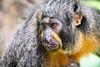 Female White-faced Saki Monkey (BoXed_FisH) Tags: animals sel70300g singapore sony sonya7 southeastasia tele telezoom zoo sg sonyalpha monkey saki primate cute