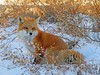 Not All That Glitters Is Gold (marylee.agnew) Tags: red fox sunset canine nature animal mammal wildlife plants gold