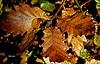 folhagem de inverno (verridário) Tags: folha folhagem sony textura inverno macro hdr planta carvalho nature naturaleza natureza листва yeşillik listowie 葉 laub φύλλωμα foliage follaje fogliame sm 葉子 잎 hiver flora details tree hdrpro