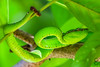 The Wagler's pitviper (_Guille_) Tags: verde tropidolaemus wagleri wagler pitviper bornean borneo wild salvaje green tree arbol snake serpiente ngc aa aasia bako bakonationalpark jungle jungla rainforest