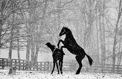 Winter fun (firstlookimages.ca) Tags: bw blackandwhite digitalmanipulation digitalart digitalphotography detail horses farm winter snow snowfall art artistic artisticmanipulation animals action monochrome