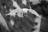 Incoming! (Owen Llewellyn) Tags: canon owenllewellyn cygnusimaging broadstairs kent gull seagull flight blackandwhite bw mono greyscale eos 5d mk 3 iii wildlife coast bird quantumentanglement