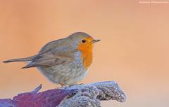 """brrrr"" (Simone Mazzoccoli) Tags: robin ice background enjoy wildlife nature wings uccelli"