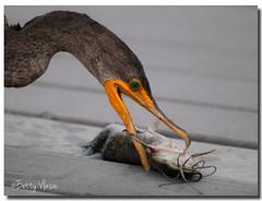 Double Crested Cormorant Fishing (Betty Vlasiu) Tags: double crested cormorant fishing phalacrocorax auritus bird nature wildlife everglades national park