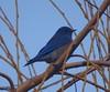 Western Bluebird (male)--Sialia mexicana (Polioptila caerulea) Tags: westernbluebird malewesternbluebird sialiamexicana altasierragolfcourse nevadacounty california webl sialia