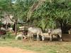 Skinny cows (Ali_Haikugirl) Tags: tonlésap cambodia travel