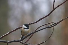Carolina Chickadee (Moschell) Tags: birds chickadee 2017 backyard in january moschell nature wildlife winter
