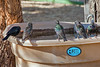 0106 IMG_3595 (JRmanNn) Tags: bonniespringsranch starlings lasvegas nature