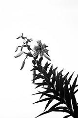 tigerlily (stillshunter) Tags: leicam6 m6 leicasummicron35mm6element summicron35 35cron ilforddelta400 id11 ilfordid11 blackandwhite blackwhite bw monochrome lily tigerlily flower