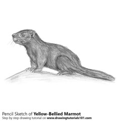 Yellow-Bellied Marmot with Pencils (drawingtutorials101.com) Tags: yellowbellied marmot yellow bellied marmota flaviventris rock chuck ground squirrels animals rodents sketch sketches sketching pencil how draw