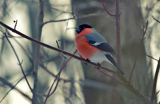 One of my favorite birds is again here. Bullfinch