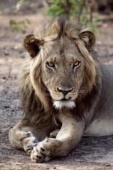 Lion Around  #lion #wild_animal #african_animal #handsome_boy #lower_zambezi_national_park  #lower_zambezi (sulucas67) Tags: lion wildanimal africananimal handsomeboy lowerzambezinationalpark lowerzambezi