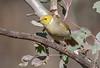white-plumed honeyeater (Lichenostomus penicillatus)-2678 (rawshorty) Tags: birds australia canberra act mulligansflat rawshorty