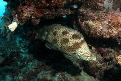 Ribbon Reefs diving, GBR (cathm2) Tags: travel underwater australia scuba diving barrier reef queesnland ribbonreefs