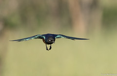 Melro-soberbo (dragoms) Tags: bird kenya wildlife ave birdwatcher maasaimara superbstarling lamprotornissuperbus wildlifephotography qunia wildlifeconservancy melrosoberbo dragoms