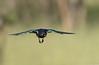 Melro-soberbo (dragoms) Tags: bird kenya wildlife ave birdwatcher maasaimara superbstarling lamprotornissuperbus wildlifephotography quénia wildlifeconservancy melrosoberbo dragoms
