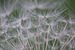 Poppy crop (fxdx) Tags: flower macro close crop poppy