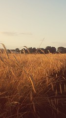 Wheat Field, Münster