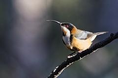 Eastern Spinebill 2015-06-21 (_MG_3764) (ajhaysom) Tags: australia melbourne australianbirds greenvale easternspinebill acanthorhynchustenuirostris canoneos60d sigma150600 woodlandshistoricpark