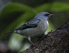 SAI-DE-PERNAS-PRETAS (Dacnis nigripes) (Dario Sanches) Tags: brasil natureza ave passaro registro valedoribeira a dacnisnigripes saidepernaspretas