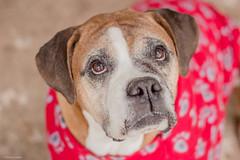 Olhar (Explore) (Vinicius_Ldna) Tags: portrait dog pet look brasil canon 50mm olhar sweet explore boxer nina londrina explored 9782 explorejul152015177