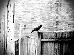 Riverwood Raven
