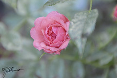 Glossy Flower.