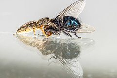 Tod im Spiegel - Death in the mirrow (HMM) (ralfkai41) Tags: ngc macro mondays macromondays mirror inthemirror nature fly fliege spiegel spiegelung kampf fight tod death insekten insects natur animal