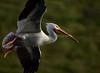 LakeChabot_123116_080 (kwongphotography) Tags: lakechabot castrovalley birds calif americanwhitepelican pelican wildlifephotography nature naturephotography wildlife birdsinflight unitedstates