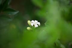 Murraya paniculata (Orange Jasmine) (Sugi Ong) Tags: makro macro closeup tak takumar supertakumar vintage prime 50mm bellows garden murraya paniculata jasmine white
