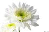 (Ken Mickel) Tags: floral flower flowers flowersplants plants closeup flora upclose nature whitebackground highkey
