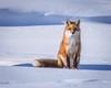 Fox on the Run (coleenr2005) Tags: winter snow fox redfox