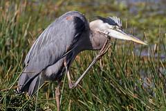IMG_3686 Great Blue Heron (cmsheehyjr) Tags: cmsheehy colemansheehy nature wildlife bird heron greatblueheron sweetwater gainesville florida ardeaherodias lepenseur