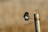 Black phoebe (Casey Helton Photography) Tags: blackphoebe bird birdphotography birds birding birdbrain photography photo photos color colorful autumncolors fallcolors brown orange black pole rust wire bokeh winter morning morningglow glowinghour