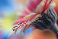 Remake (Marilena Fattore) Tags: macro canon650d tamron colors water drops droplet fantasy closeup lightness focus petals floralart reflection bokeh pink orange blue softness pastel flower garden
