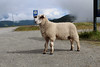 Strike a Pose (katwadds) Tags: sheep norway sognogfjordane