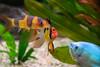 Meeting (Klas-Goran Photo) Tags: hobby fish aquarium