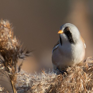 Bearded tit from Dorset
