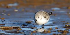 Sanderling (Explore) (NickWakeling) Tags: sanderling titchwell norfolk nature northnorfolk birds canoneos7dmarkii sigma150600mmf563dgoshsmcontemporary wildlife rspb