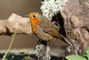 _F0A8726.jpg (Kico Lopez) Tags: erithacusrubecula galicia lugo miño petirrojo spain aves birds rio