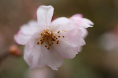 Winter Cherry Blossoms / Kyoto Ohara Fudanzakura (maco-nonch★R(on/off)) Tags: kyoto ohara sakura 不断桜 大原 京都 cherryblossoms manual allmanual manualfocus manualexposure flower macro winter lasting forever 実光院 桜