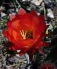 Echinopsis grandiflorus hybrid (l.e.violett) Tags: cactus flower cultivated echinopsis grandiflorus hybrid arizona macro pse