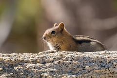 IMG_9434 (ben.roberts999) Tags: goldenmantledgroundsquirrel mammal nv ophircreek reno squirrel tahoemeadows usa wildlife