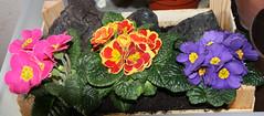 23-IMG_7820 (hemingwayfoto) Tags: blühen blüte blau blume bunt frühblüher frühlingsblume garten gartenblume gewächs kiste natur pflanze pink primel primulaacaulis