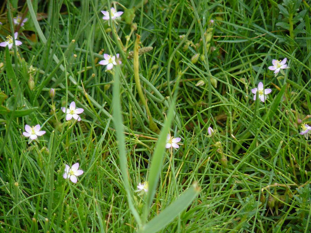 Spergularia marina- Salzspärkling1