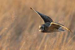 Short-eared Owl (Scott Weberpal) Tags: shorteared owl bird birding nikon 200500 d7200 flight raptor